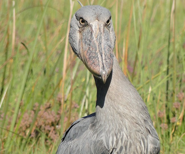 Shoebill Safari